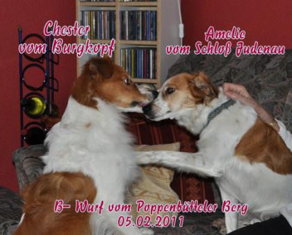 Kromfohrländer Chester und Amelie